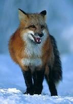 Northern Red Fox Urine nsrfusale